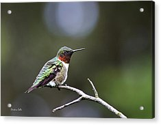 Ruby Throated Hummingbird Spotlight Acrylic Print