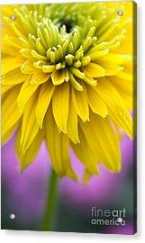 Rudbeckia Cherokee Sunset Flower Acrylic Print