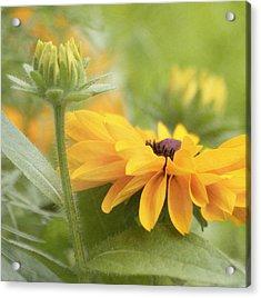 Rudbeckia Flower Acrylic Print