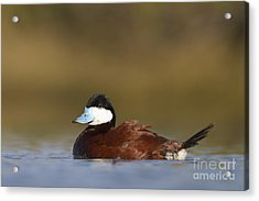 Acrylic Print featuring the photograph Ruddy Duck  by Bryan Keil
