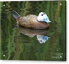 Ruddy Duck Acrylic Print