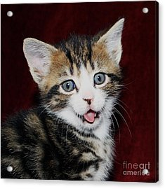 Acrylic Print featuring the photograph Rude Kitten by Terri Waters