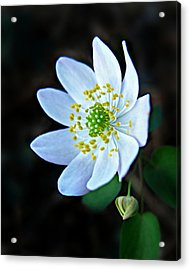 Acrylic Print featuring the photograph Rue Anemone by William Tanneberger