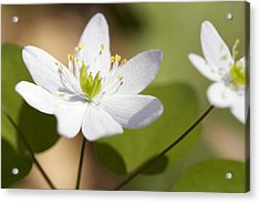 Rue Anemone Acrylic Print by Melinda Fawver