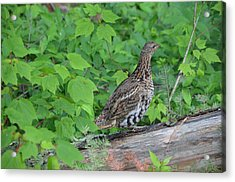 Ruffed Grouse Acrylic Print by James Petersen