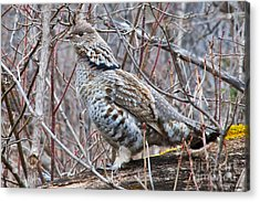 Ruffed Grouse Male Acrylic Print by Chris Heitstuman