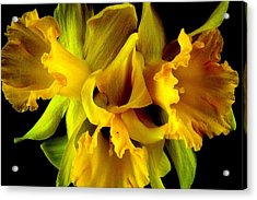 Acrylic Print featuring the photograph Ruffled Daffodils by Marianne Dow