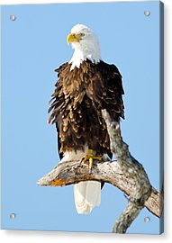 Ruffled Eagle Acrylic Print
