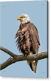 Ruffled Feathers Bald Eagle Acrylic Print