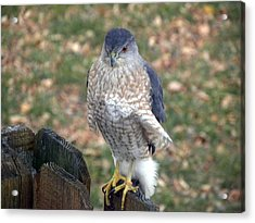 Acrylic Print featuring the photograph Ruffled Feathers by Teresa Schomig