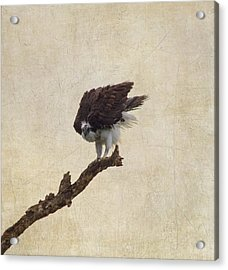 Ruffled Up Osprey Acrylic Print by Kim Hojnacki