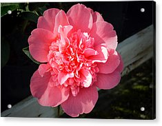 Ruffles In Pink. Acrylic Print by Terence Davis