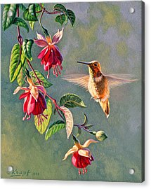 Rufous And Fuschia Acrylic Print by Paul Krapf