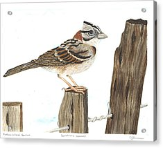 Rufous-collared Sparrow Acrylic Print by Cindy Hitchcock