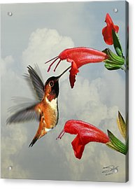 Rufous Hummingbird And Wild Flower Acrylic Print