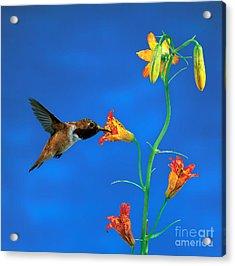 Rufous Hummingbird Acrylic Print by Anthony Mercieca