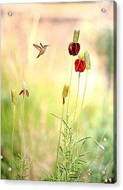 Rufous Hummingbird Mexican Hat Corn Flower Acrylic Print