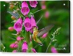 Rufous Hummingbird Acrylic Print by Thomas and Pat Leeson