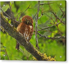 Rufous Morph Costa Rican Pygmy-owl Acrylic Print by Tony Beck