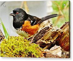 Acrylic Print featuring the photograph Spotted Towhee by VLee Watson