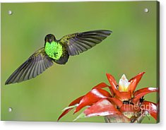 Rufous-tailed Hummer-ecuador Acrylic Print by Anthony Mercieca