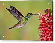 Rufous-tailed Hummingbird Acrylic Print by Anthony Mercieca