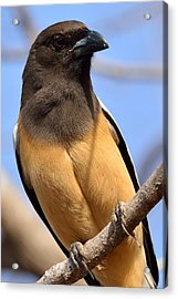 Rufous Treepie. Another Portrait Acrylic Print by Fotosas Photography