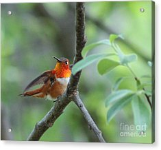 Rufus Hummingbird Acrylic Print by Leone Lund