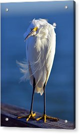 Rufus The Bird Acrylic Print