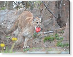 Run Kitty Run Acrylic Print