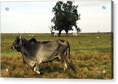 Running Cow Acrylic Print by Kyra Belan