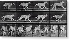 Running Dog Acrylic Print by Eadweard Muybridge
