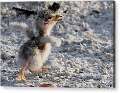 Running Free - Least Tern Acrylic Print