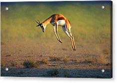 Running Springbok Jumping High Acrylic Print by Johan Swanepoel