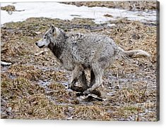 Acrylic Print featuring the photograph Running Timber Wolf by Wolves Only
