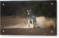 Running Zebra Acrylic Print by Johan Swanepoel