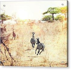 Running Zebras Acrylic Print by Borchee