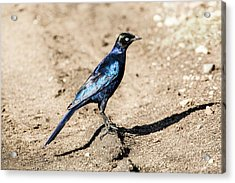Ruppell's Glossy-starling Acrylic Print by Photostock-israel