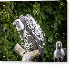 Ruppells Griffon Vulture  Roost  Acrylic Print