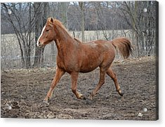 Russian Arabian Acrylic Print by Jennifer  King