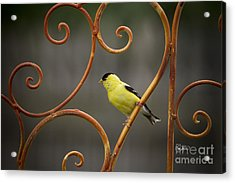 Rustic Finch Acrylic Print by Cris Hayes