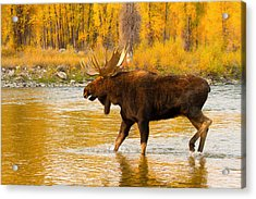 Acrylic Print featuring the photograph Rutting Bull by Aaron Whittemore