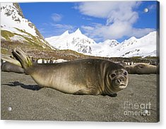 Southern Elephant Seal Pup Acrylic Print