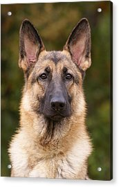 Sable German Shepherd Dog Acrylic Print