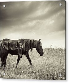Sable Island Horses Acrylic Print by Jewelsy