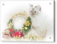Sacred Cat Of Burma Christmas Time Acrylic Print by Melanie Viola