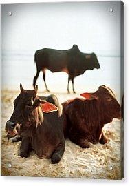 Sacred Cows On The Beach Acrylic Print