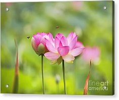 Sacred Lotus Acrylic Print by Bill  Robinson