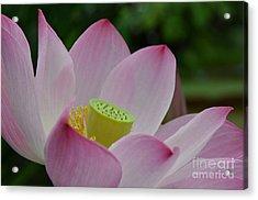Sacred Lotus Acrylic Print