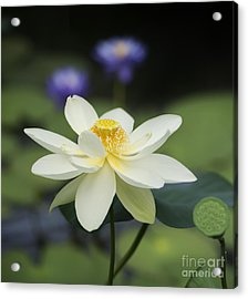 Sacred Lotus  Acrylic Print by Tim Gainey